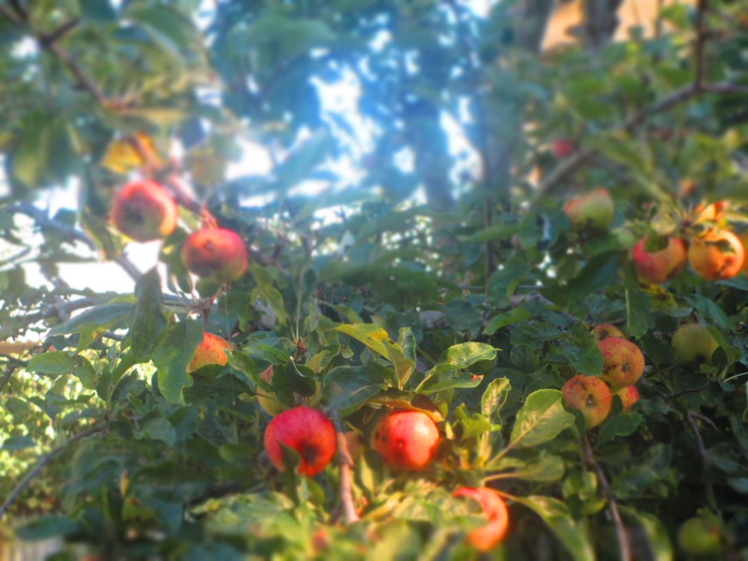 apples_4