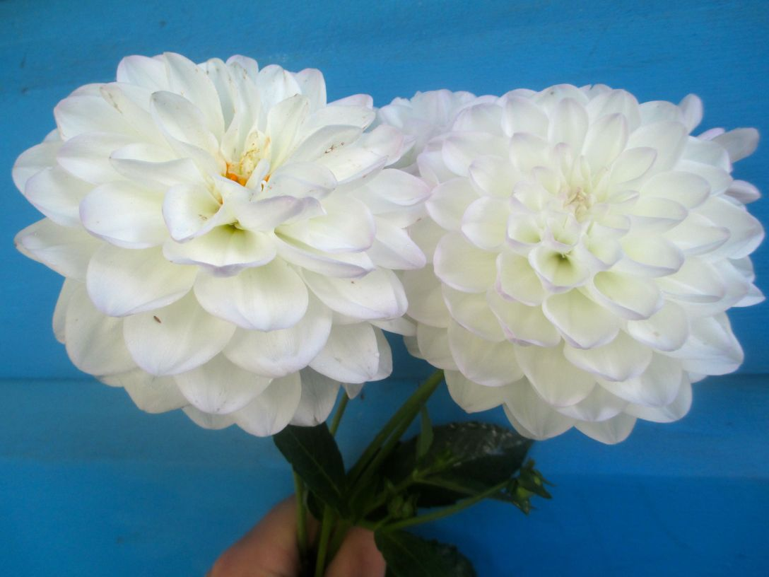 white_dahlias