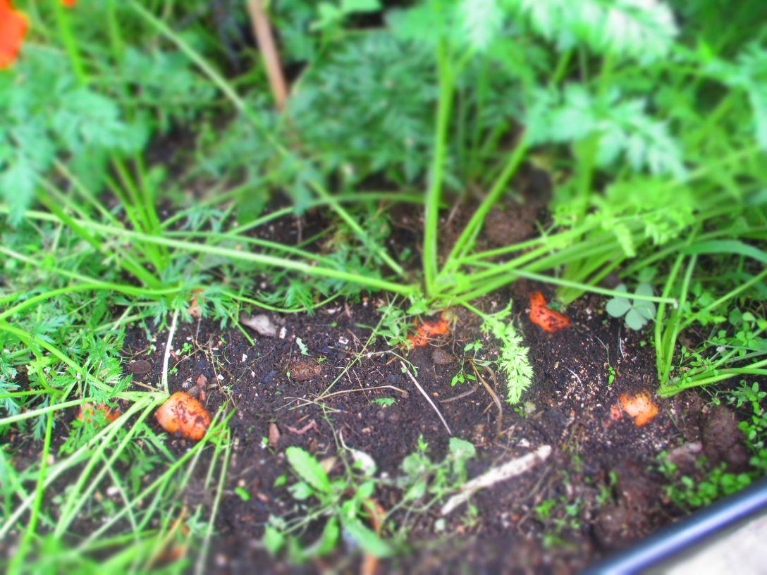 carrots_april
