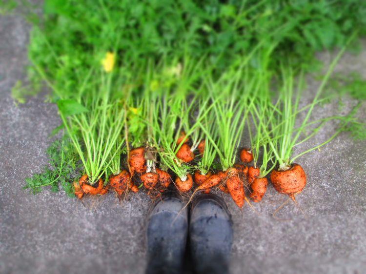 carrots_april_2