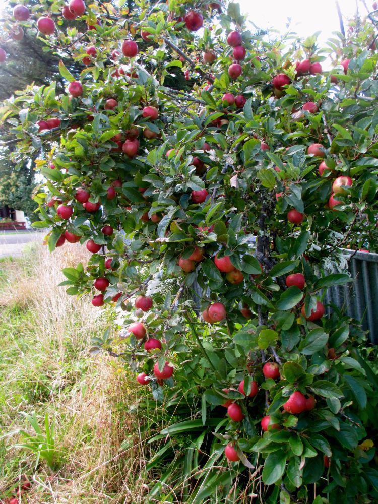 apples_8