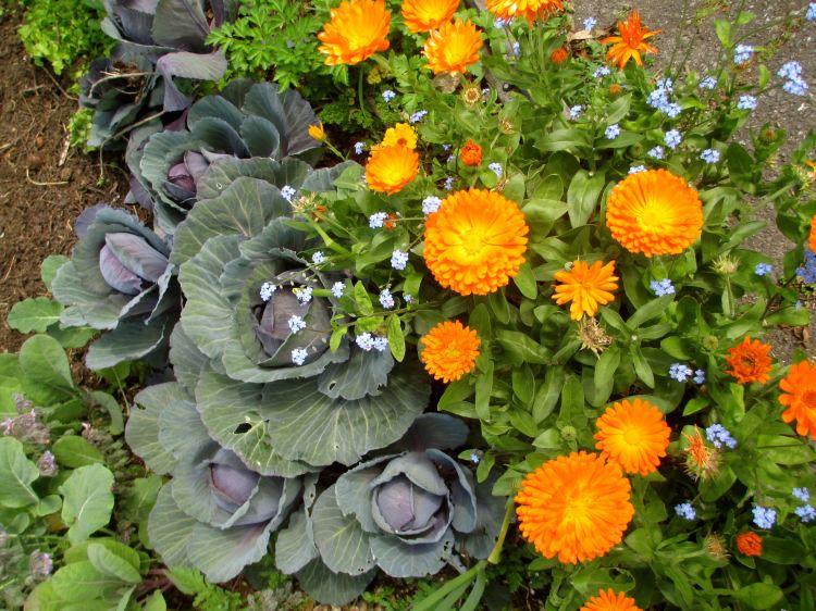 cabbages_calendula